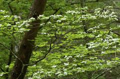 Chestnut Trail Dogwoods