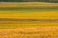 wheat field, Caldwell County, Fredonia,