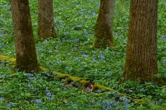 White Oak Sink, flowers, Smokies, spring, Schoolhouse Gap Trail, Great Smoky Mountains,