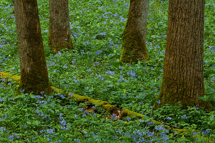 White Oak Sink, flowers, Smokies, spring, Schoolhouse Gap Trail, Great Smoky Mountains, , photo
